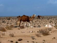Camels.